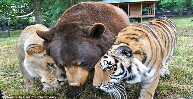 Leo the Lion, Who Grew Up with a Tiger and Bear for Brothers Passes Away!