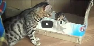 Bengal Mother Cat Talking to Her Kitten! How Adorable!