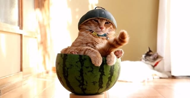 Cute Cat Beats the Japanese Summer Heat by Chilling Out Inside a Watermelon!