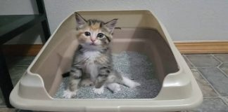 Little Kitten Learning To Use Litter Box Has Some Great Moves!