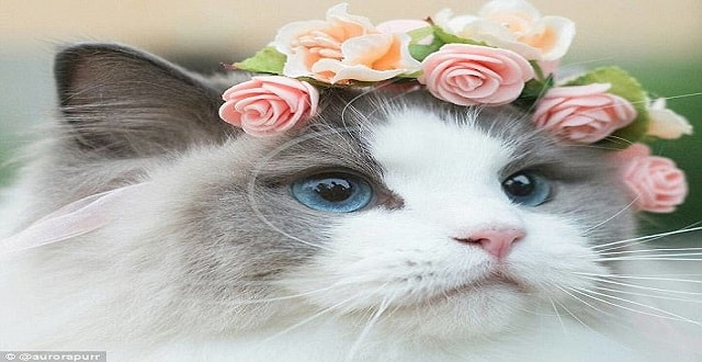 Meet Princess Aurora the Pampered Cat with 87,000 Instagram Followers!