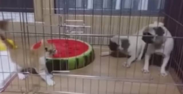 Two Pugs Don't Stand a Chance Against This Ferocious Kitten!