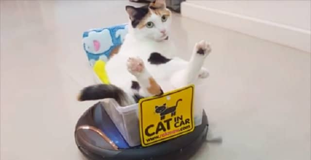 Lazy Cat's Mode of Transportation is a Roomba!