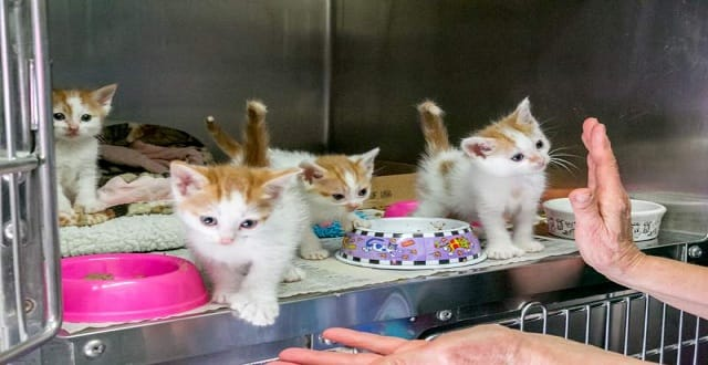 24-toed kittens in Need Of Forever Homes in California!