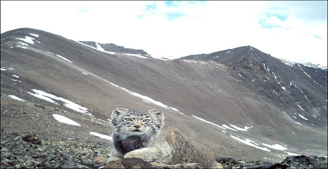 Pallas Cats to Get Their Own 'Palace' in Siberian Mountains!