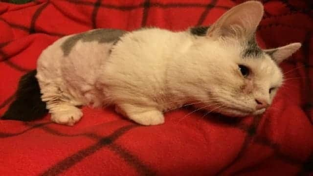 Blind 2-year-old Munchkin Who Fits in the Palm of a Hand, Needs Forever Home in Boston Area!