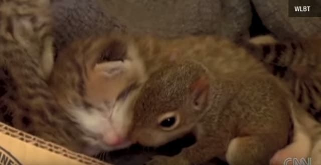 Cat Adopts Baby Squirrel, Teaches it to Purr!