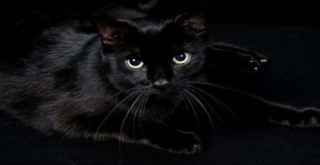 People Actually Adopt Black Cats for Halloween Costume Props!
