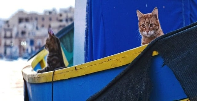 Cats Sailed with Vikings to Conquer the World, Genetic Study Reveals!