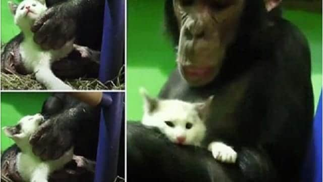 WATCH: Caring Chimp Adopts Kitten Found in Russian Zoo!