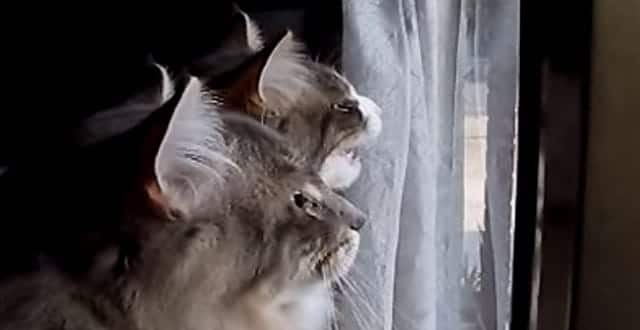 Cute Kitties Chattering at the Birds!