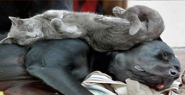 Cats Love Dogs – Especially When the Canines Make Great Beds!