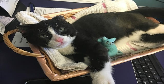 UPDATE – Dreams Come True for Kitten Whose Ears Were Burned Off Months Ago!