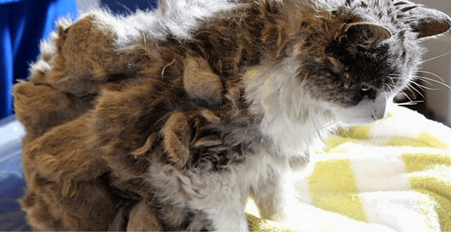 Lonely Cat Who Couldn't Even Walk Under All That Matted Fur Now Looks Absolutely Regal!