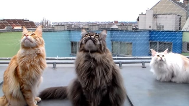 Maine Coons Chirping at Birds Is the Cutest Thing You Will See All Day!