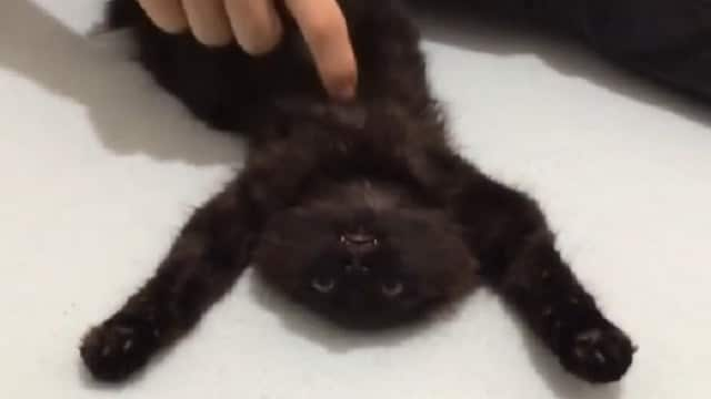 WATCH: Rescued Feral Kitten Learns the Wonderful World of Belly Rubs – And Falls in Love With Them!