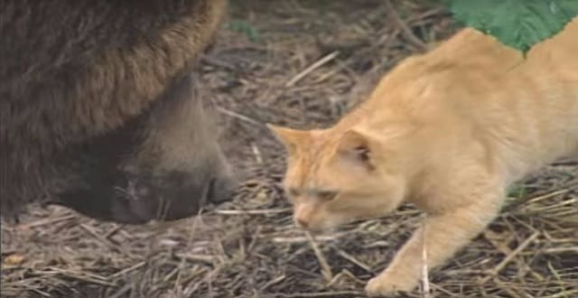 WATCH: Encounter Between a 650-pound Grizzly Bear and a Ginger Cat - And - the Outcome!