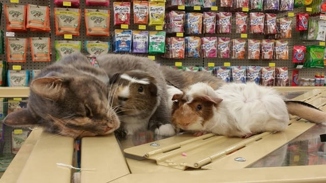 Cat Visits Pet Store Because She Loves to Cuddle With Guinea Pigs!