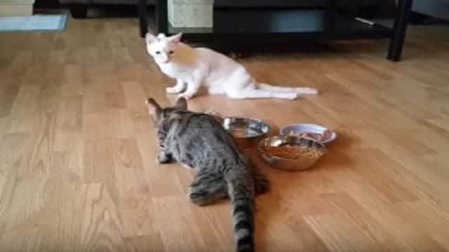 """Two Cats Who Aren't Able to Walk Still Find Ways To """"Run"""" And Play Together"""