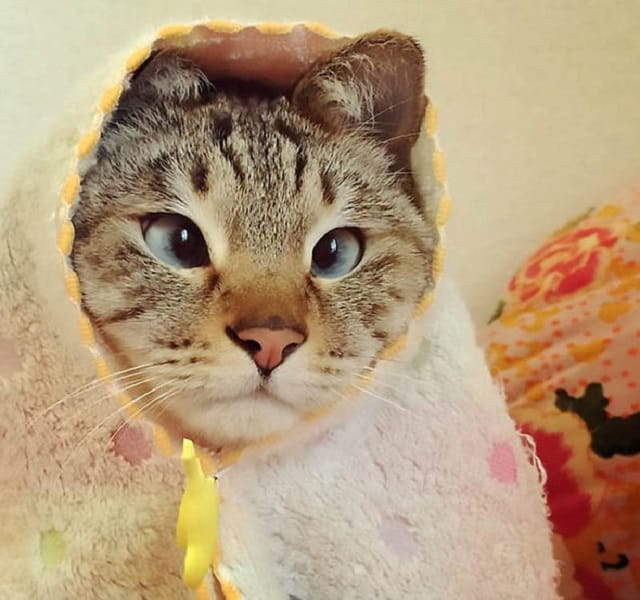 The tabby-Siamese crossbreed, named Sol-kun, has been permanently crossed since birth