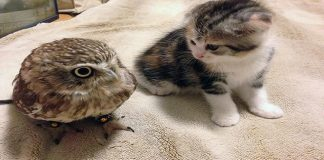 Kitten And Baby Owl Are BFF's, Photos and Video Of Them Napping/Playing Will Melt Your Heart!