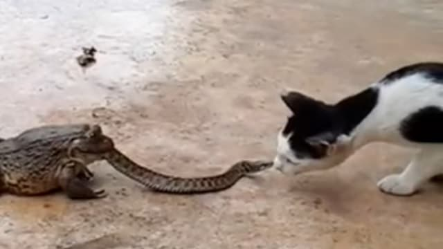 Obnoxious Cat Teasing Snake Who Is Being Eaten by Toad!