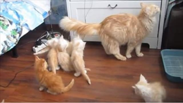 Mama Cat's Epic Fail Jump Sends Kittens into Chaos!