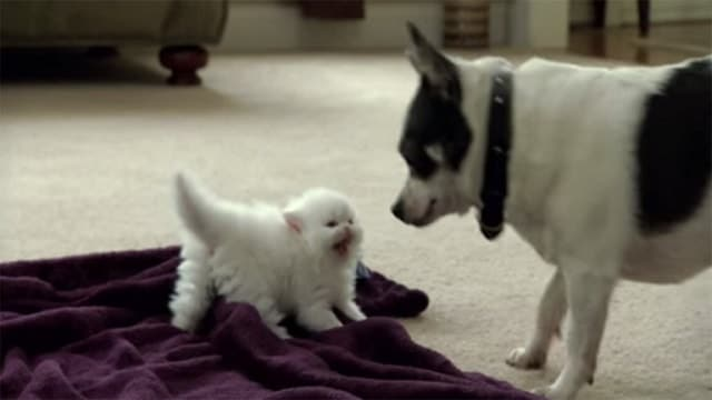 Itty Bitty Marshmallow Kitty Takes No Lip From Doggie!