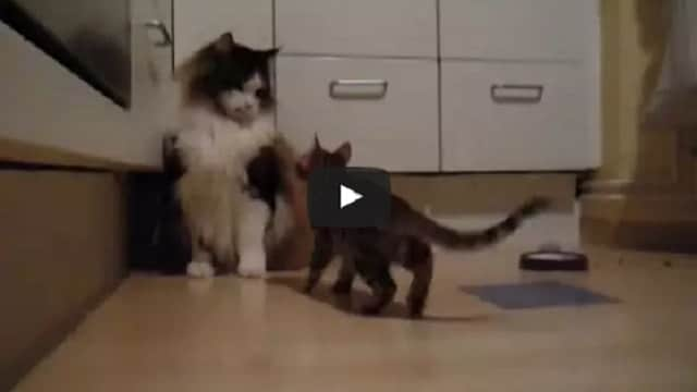 WATCH: Brave But Tiny Bengal Kitten Takes On Huge Massive Maine Coon Cat!