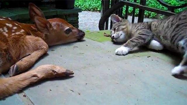 Kitten Meeting Newborn Doe Will Make Your Heart Explode!