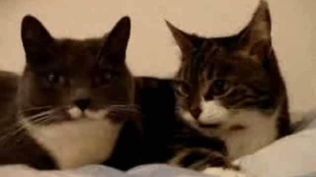 WATCH: Two Talking Cats - And the Translation!