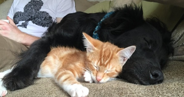 This Adorable Dog And His Adopted Kittens Show That Families Literally Come In All Shapes And Species!