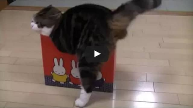 Watch Maru the Box-loving Cat in Action – We Dare You Not to Laugh!