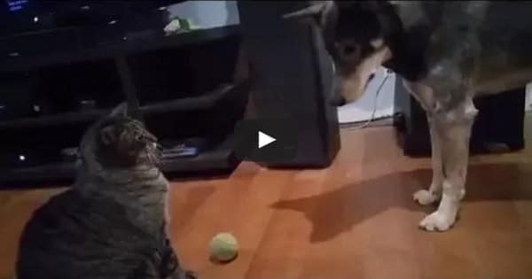Cat Simply Refuses To Let His Doggie Friend Have His Ball Back!