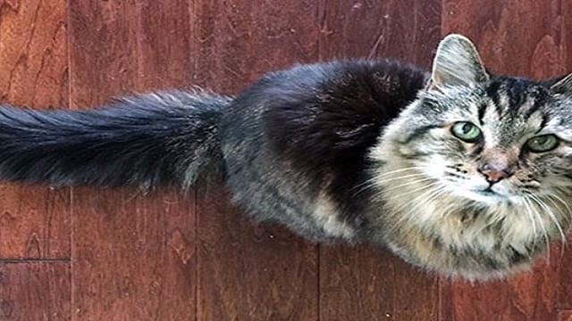 Corduroy, the World's Oldest Cat, Has Gone Missing and Is Now Presumed …