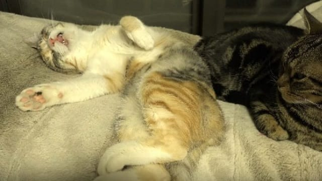 This Cat Meowing in Her Sleep Is *So* Cute and We Just Can't!