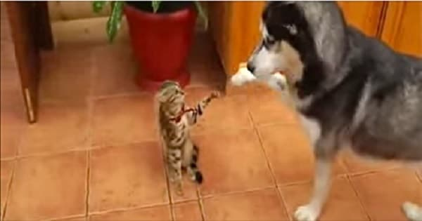Husky Tries To Get Cat To Play With Him, Gets the Most Hilarious Response!