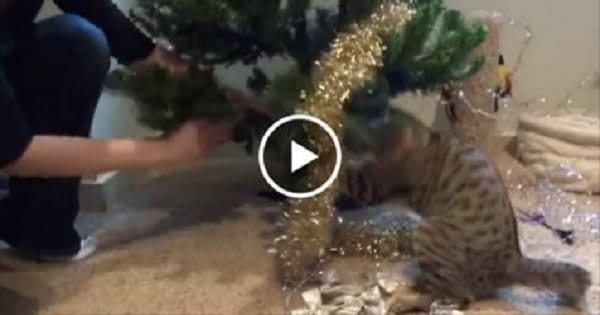 """Blind Kitty """"Helps"""" Decorate Christmas Tree!"""
