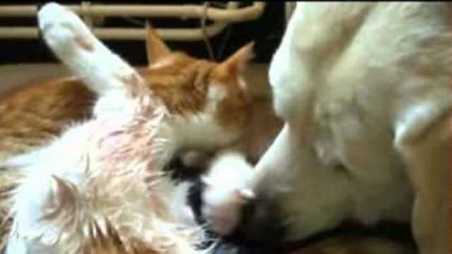 Dog Helps Cat Give Birth