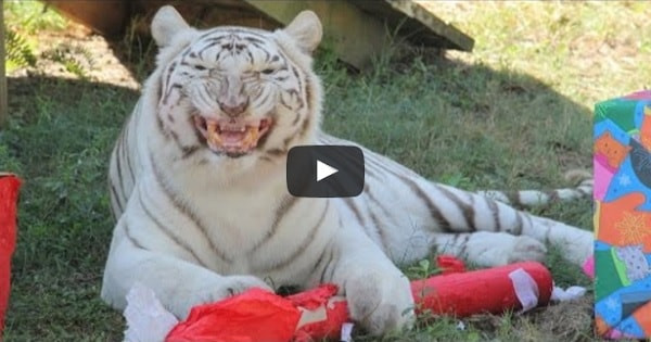 Watch Cats at Big Cat Rescue Get Their Presents!