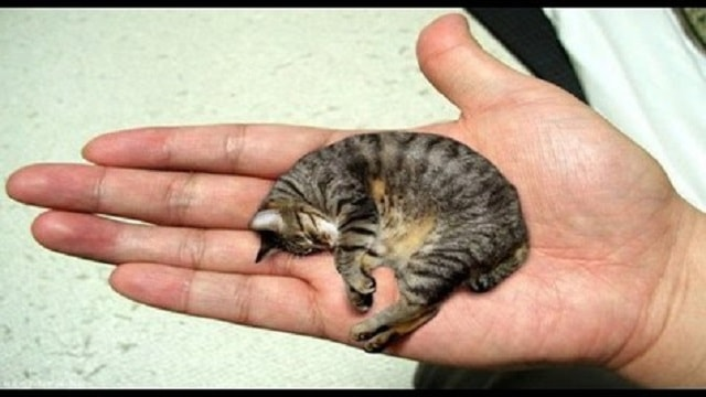 World's Smallest Cat Named by Guinness and Her Name Is 'Fizz Geul'!