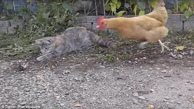 Chicken Watches Cat Hunting House – Then Shows the Cat How It's Done!