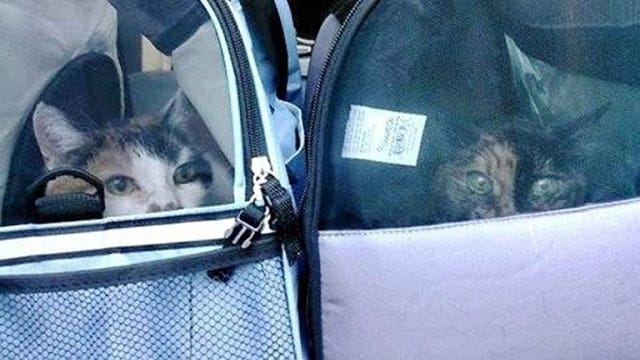 Couple Lovingly Adopts Two Bonded Senior Cats!