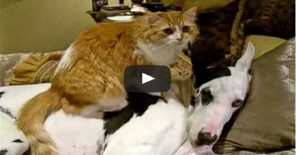 Watch This Cat Give Great Dane Some 'Much Kneaded' Love!