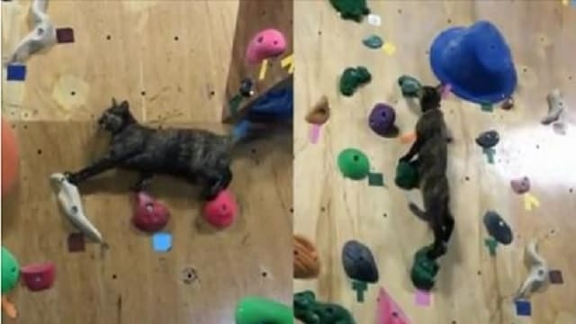 Watch This Gorgeous Rescue Tortie Show Off Her Rock-climbing Skills!