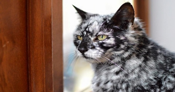 This Cat Has Vitiligo And He Looks Like a Beautiful Marble