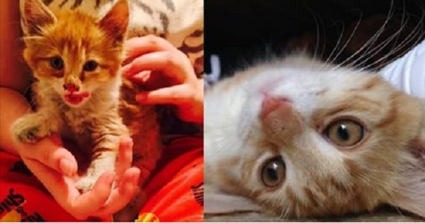 Story of a Tiger, Who Went From Being a Sickly Street Kitten to Loving, Loving House Cat!