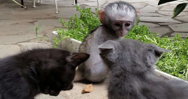 2 Cats Approach a Lonely, Baby Monkey and They Teach Him the Meaning of Love and Friendship