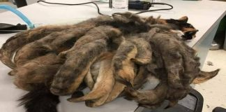 Several Pounds of Matted Fur Removed from Cat at Pennsylvania Shelter!