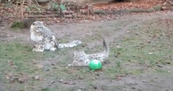 Mama Snow Leopard Just Couldn't Help Herself and Plays With Her Cub's Ball